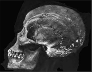 Atala African Skull