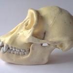 Atala chimpanzee skull