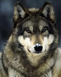 Atala wolf