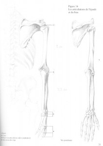 Atala European Skeleton