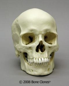 Atala European Skull