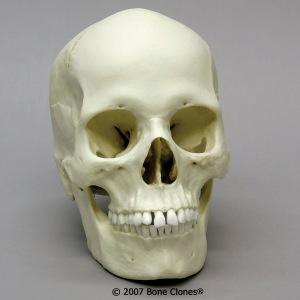 Atala Asian Skull