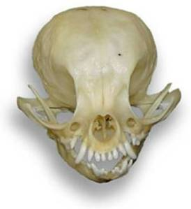 Atala chihuahua skull