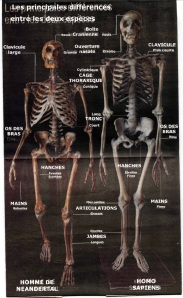 Atala Sapiens Neanderthal Comparison Skeleton