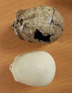 Atala Neanderthal European skull comparison
