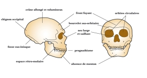 Atala Neanderthal cranial features