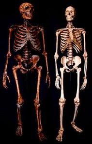 Atala Neanderthal Homo Sapiens skeleton comparison