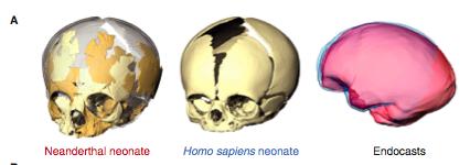 Modern and neanderthal babies skull