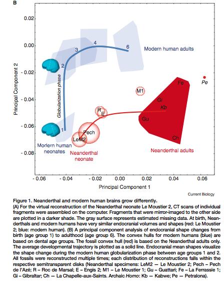 Brain development modern and neanderthal