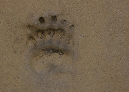 Bear footprint in the sand